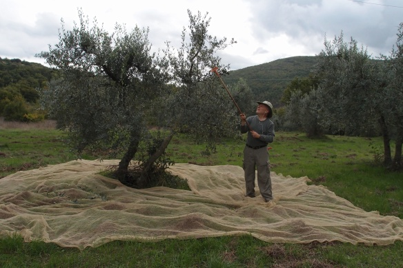 Yours truly raking olives from a tree.